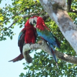 Red and Green Macaw / Guacamayo Aliverde